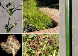 Scirpus sylvaticus L. - Sistema informativo sulla flora delle Alpi ...