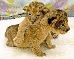 cute baby liger. Contemporary Liger Baby Ligers Omg Intended Cute Liger Pinterest