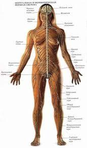 Анатомия нервной системы Спинной мозг Строение и  Анатомия нервной системы Спинной мозг