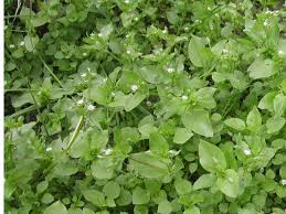 getting rid of chickweed. Wonderful Rid Chickweed With Getting Rid Of