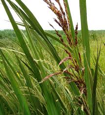 wild rice plant.  Plant Manchurian Wild Rice  Thumbnail Species Image 5 Throughout Wild Rice Plant I