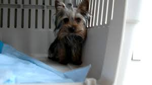 less yorkie puppy coby yorkie puppies in michigan