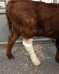How To Treat Leg Fractures In Young Calves Beef Magazine