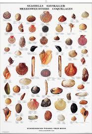 Seashell Chart Seashell Poster