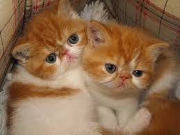 lovely male and female exotic short hair kitten singapore free clifieds muamat