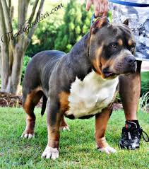 Xxl Biggest Best Extreme Pitbulls American Bully Breeder Kennel Tri