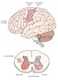 the distribution of axon terminals in the spinal cord of the monkey shown as dots
