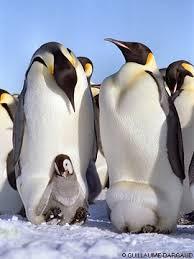 emperor penguin egg. Exellent Penguin Emperor Penguins  For Penguin Egg