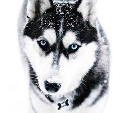 siberian husky wallpaper. Delighful Siberian Preview Wallpaper Husky Dog Muzzle Blueeyed For Siberian Husky Wallpaper