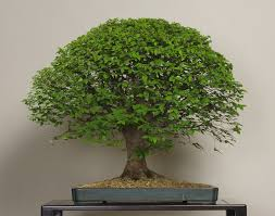 keyaki japanese zelkova photo by the omiya bonsai art museum bonsai tree