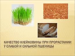 Презентации по сельскому хозяйству Привет Студент  Презентация Качество клейковины при прорастании у слабой и сильной пшеницы