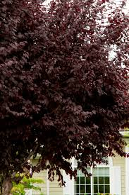 Prune Plum Tree U2013 Information On When And How To Trim PlumsPlum Tree Flowers But No Fruit
