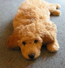 Small Picture The Goldendoodle Golden Retriever Poodle Oh My Goodness