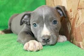 pitbull puppies. Interesting Pitbull With Pitbull Puppies U