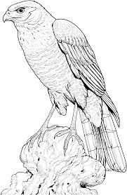 Perched Hawk Coloring Pagegif 17282653 Birds Kleurplaten