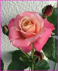 ❤🙏🏻🌹 - Hermosas Rosas Flores Orquídeas y Mas   Facebook