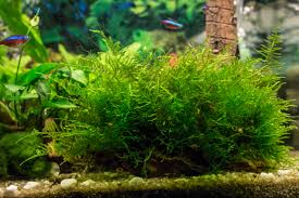 Low Light Cold Water Aquarium Plants Aquatic Plants Six Perfect Choices For Those Wishing To Dip