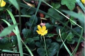 Plants Profile for Lysimachia nummularia (creeping jenny)