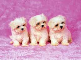 Free Download Cute Puppy Wallpapers ...