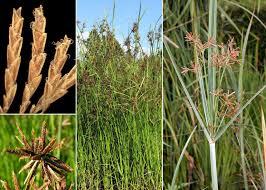 Cyperus longus L. - Portale sulla flora del basso corso del Lamone ...
