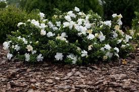 gardenia jasminoides radicans