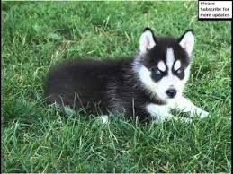 pure black husky puppy. Beautiful Puppy Black Siberian Husky Puppies  Dog Breed Pictures And Pure Puppy A
