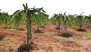 Growing Dragon Fruit From Vine Cuttings Grow Pitaya Grow How To Take Care Of Dragon Fruit Tree
