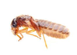 natural termite killer. Simple Natural Organic Termites Spray  Natural Killer  Repellent Trap To Termite W
