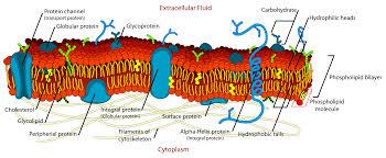 ib ess extended essay e b yoloj  1 4 membrane transport