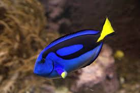 pic of fish. Brilliant Pic Regal Blue Tangs Live In The Coral Reefs Of Philippines Indonesia  Japan Great Barrier Reef Australia New Caledonia Samoa East Africa And  And Pic Of Fish T