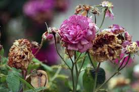 how to deadhead roses for more blooms