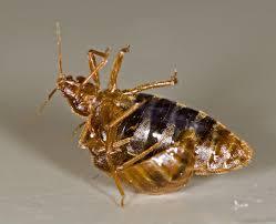 male bed bug traumatically inseminating a female