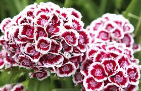 6 sweet william
