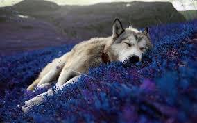 beautiful relaxing wallpaper of a wolf sleeping