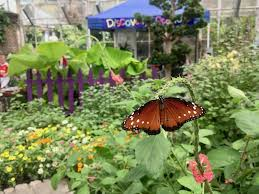 discover the whimsical world of erflies at the annual wings of fancy live erfly and caterpillar exhibit at brookside gardens