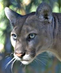 Image result for cougar in jasper national park