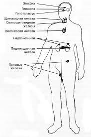Гипофиз или придаток мозга Гипофиз придаток мозга Анатомия человека реферат по анатомии строение человека физиология