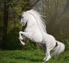 white horse rearing. Fine Horse Beautiful White Horse Rearing Up Stunning Beauty Inside White Horse Rearing H