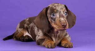 dapple dachshund not just a pretty