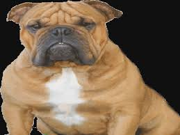 english bulldogs and french bulldogs breeder phoenix tucson arizona french bulldog puppies for in