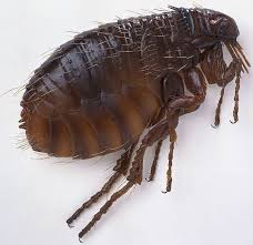 19 shocking flea facts you need to know