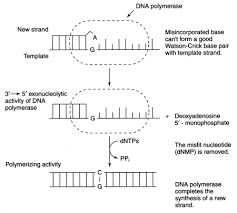 dna replication enzymes figure 4