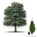 Images & Illustrations of chinquapin oak