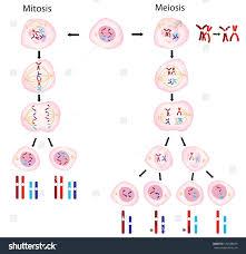 venn diagram for mitosis and meiosis venn diagram mitosis vs meiosis barca fontanacountryinn com