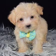 morkiepoo puppy for in ny