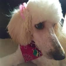 tear stains fixed on poodle