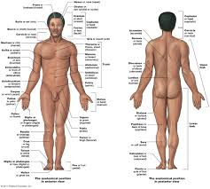 introduction to anatomy and physiologyb  directional terms