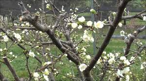 How To Prune Plum Trees  YouTubeCan You Prune Fruit Trees In The Summer