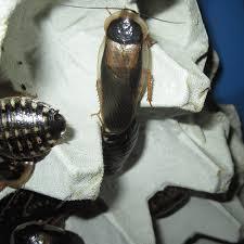 Dubia Roach Growth Chart Breeding Dubia Roaches A Comprehensive Guide Dubia Roach