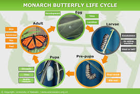 Monarch Butterfly Life Cycle Science Learning Hub